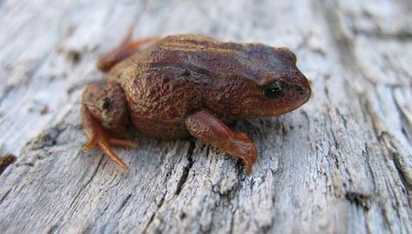Descubren una nueva especie de rana en Cusco