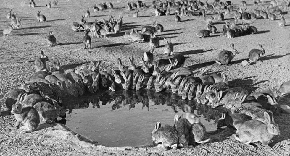 Australia llegó a tener miles de millones de conejos salvajes que devastaron las zonas rurales. (Foto: Wikimedia Commons)