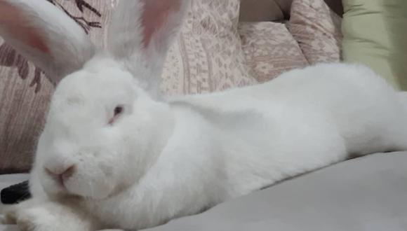 Jester es un conejo gigante que pesa 20 libras y que ha llamado fuertemente la atención por la vida que lleva. (Instagram: @jester_the_giant_bunny)