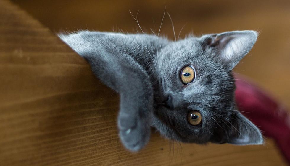 El pequeño felino llamó la atención de miles de usuarios de YouTube por su comportamiento. (Pixabay / Nishikikoi)