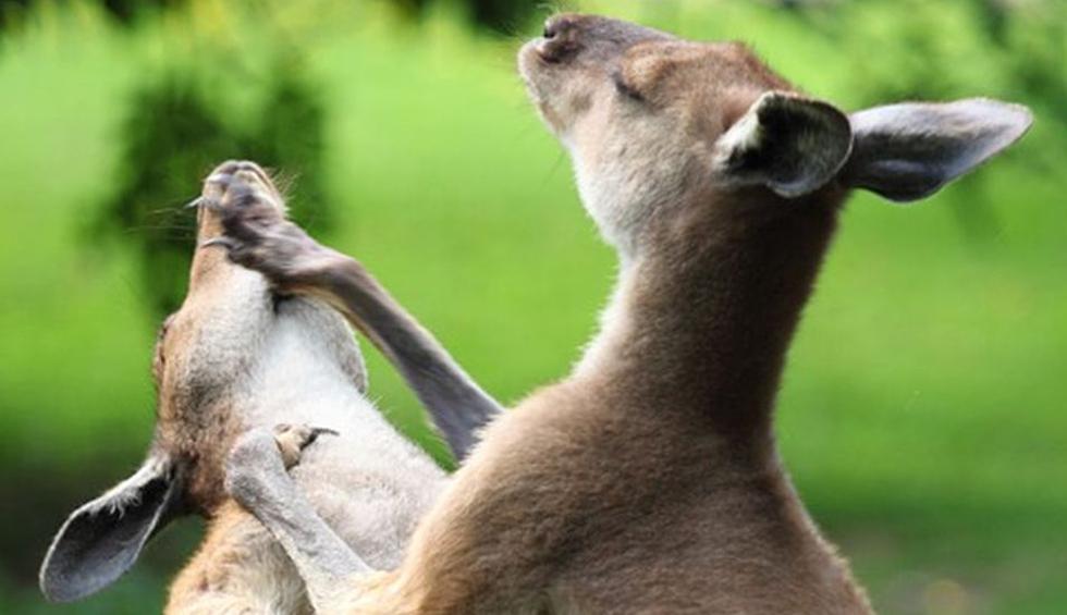 Los canguros lucían muy furiosos. (Pixabay / PublicDomainPictures)