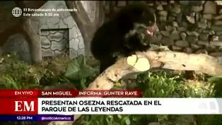 Osezna de anteojos rescatada será cuidada en el Parque de las Leyendas