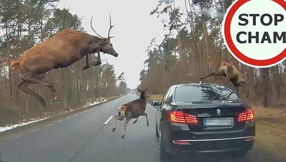 Dos conductores son sorprendidos por una manada de ciervos en una carretera de Polonia. (Foto: STOP CHAM / YouTube)