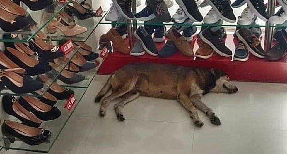 FOTO 1 DE 3 | El can entró a una zapatería, ubicada en la ciudad de Recife, para protegerse de una lluvia torrencial y se quedó dormido en una esquina. | Crédto: Planeta Cachorro en Facebook. (Desliza hacia la izquierda para ver más fotos)