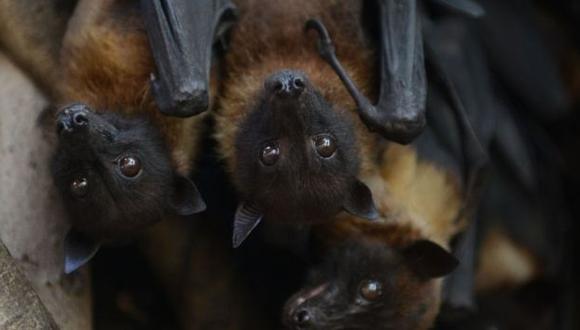 Un coronavirus que infecta a los murciélagos es el pariente más cercano del SARS-CoV-2 hasta el momento. (Foto: AFP)
