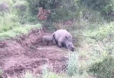 Facebook: rinoceronte bebé y su reacción al ver a su madre muerta
