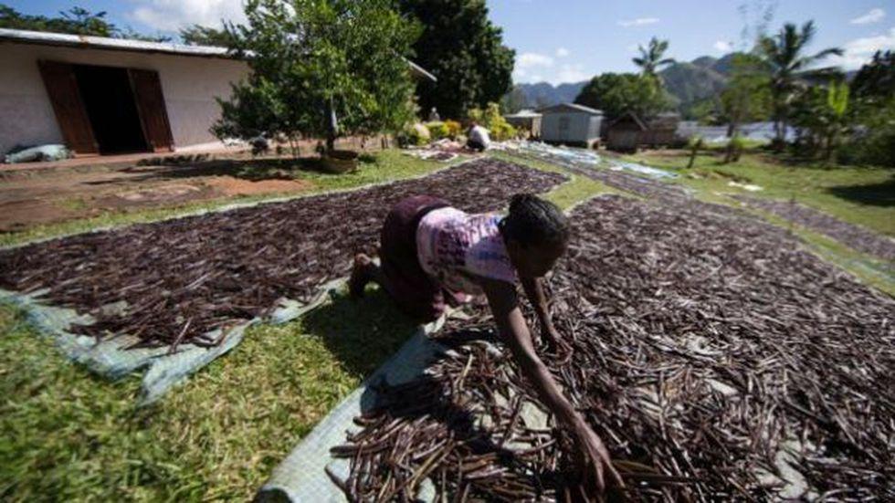 Muchos agricultores prefieren recolectar sus vainas prematuramente para evitar perder todo con los ladrones en los últimos meses antes de la cosecha. (Foto: BBC Mundo)