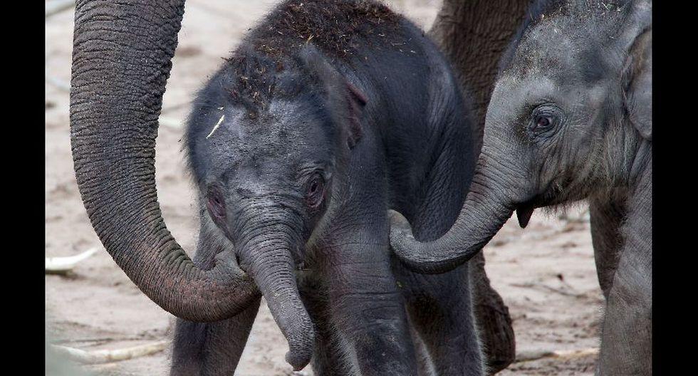 Elefante recién nacido conoce a su manada - 3