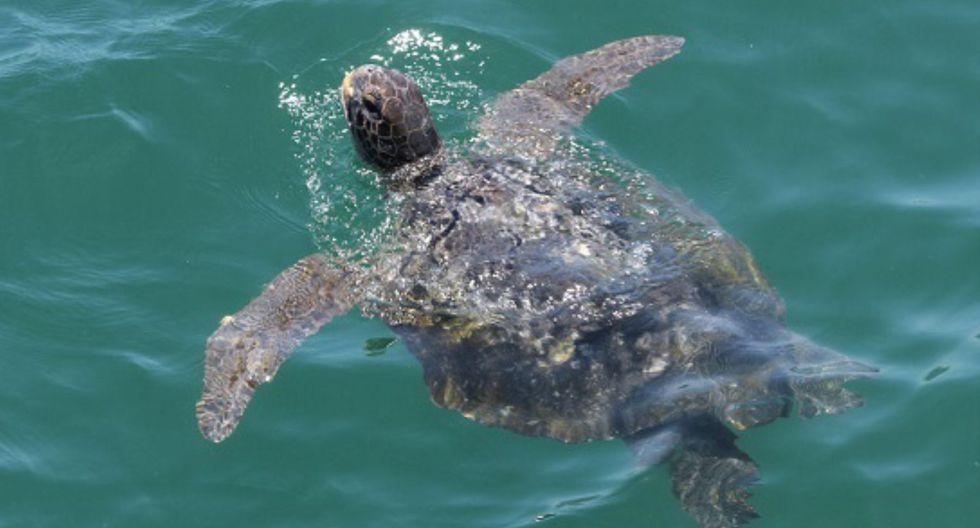 Las tortugas marinas enfrentan amenazas tales como la captura para consumo humano directo. (Foto: Andina)