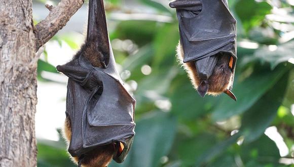 Los investigadores apuntas a los murciélagos como los posibles reservorios del nuevo coronavirus. (Foto: Pixabay)
