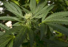 Legalizan en Canadá el consumo de productos comestibles de cannabis
