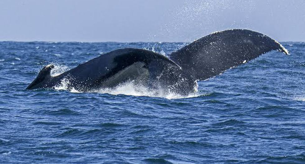 Graban video submarino de ballena en peligro de extinción en sur de China (Foto: xinhua/referencial)