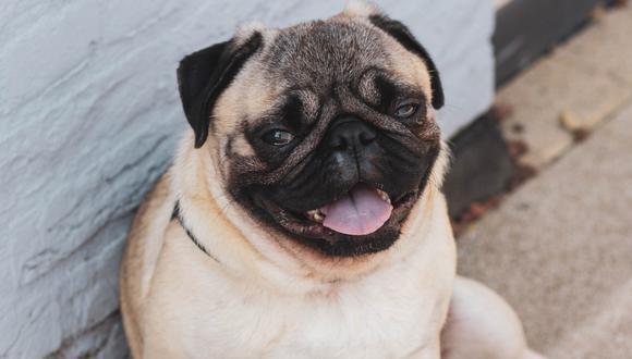 El confinamiento ha agravado los problemas de peso en muchos perros y gatos. (Foto: Pexels)