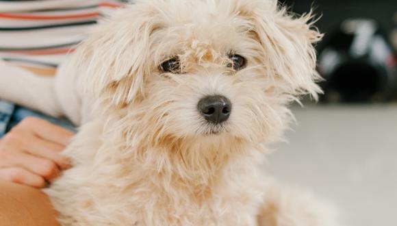 Incorporar un perro en tu rutina implica un nivel de dedicación y esfuerzo importante. (Foto: Pexels | Julia Volk)