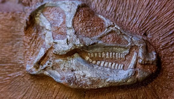 El fósil de un pequeño dinosaurio llamado Heterondotonsaurus que vagó por la tierra hace 200 millones de años. (Foto: Pierre Jayet / ESRF / AFP)