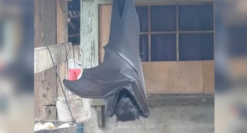 """Foto 1 de 3   Un usuario publicó en redes sociales la fotografía de un murciélago gigante de """"tamaño humano"""" que fue encontrado en Filipinas. (Foto: Twitter/@AlexJoestar622)"""