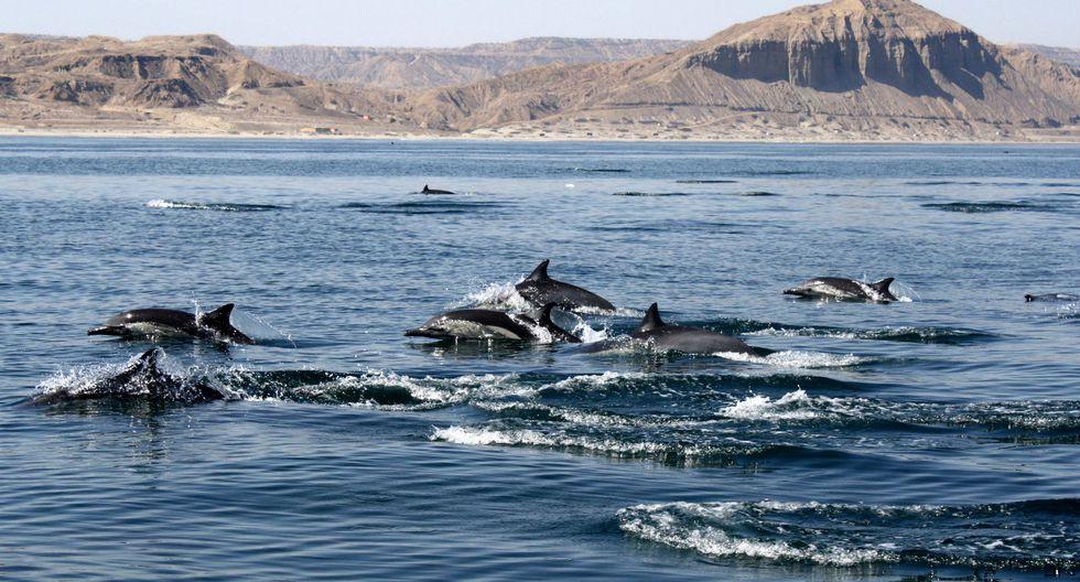 En las playas El Ñuro y Los Órganos, en Piura también es posible observar delfines en cualquier época del año.  Foto: Pacífico Adventures (Chiara Guidino)