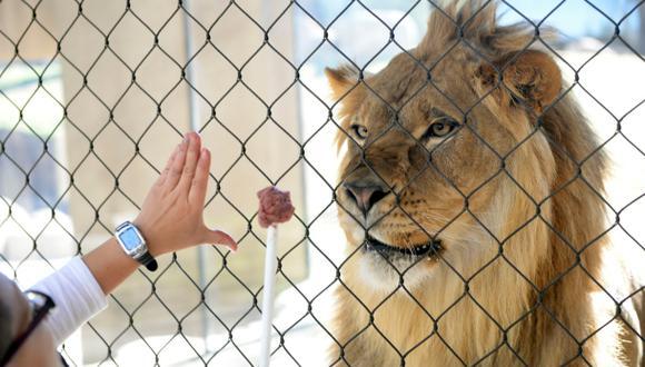 Brasil: Roban un león de centro de protección de animales