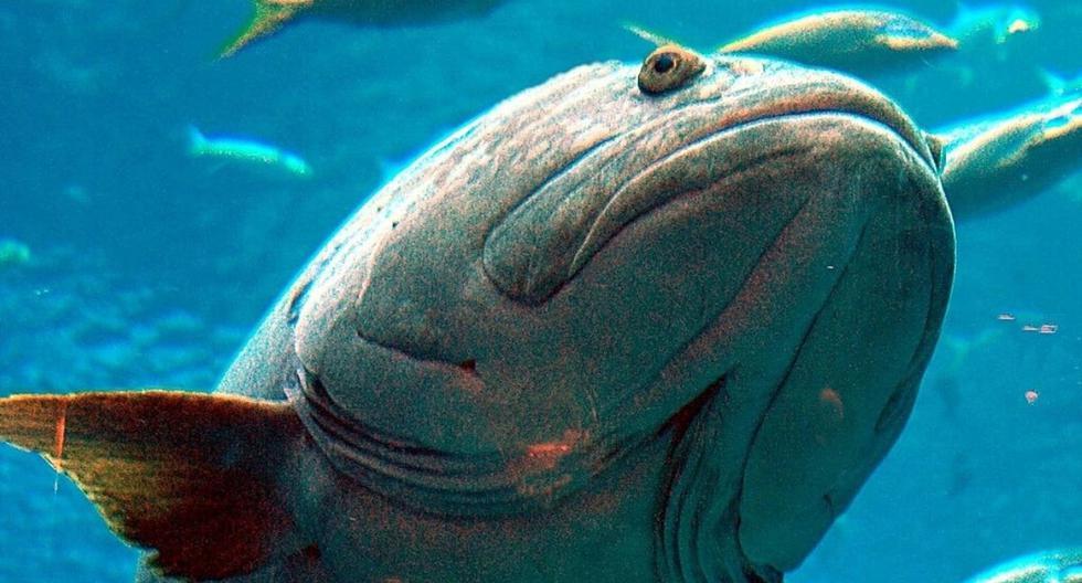 El mero fue pescado el 29 de diciembre pasado a una profundidad de 182 metros. (Foto: Referencial - Pixabay)
