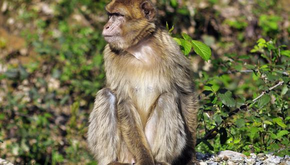 """""""Estos datos indican que una infección con SARS-CoV-2 provocó una inmunidad protectora"""" en monos, concluyen los autores del estudio. (Foto referencial: Wikimedia/Creative Commons)"""
