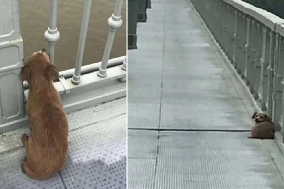 El can espera desde hace 7 días a su dueño que se lanzó desde lo más alto del puente Yangtze | Foto: Asociación de Protección de Pequeños Animales de Wuhan