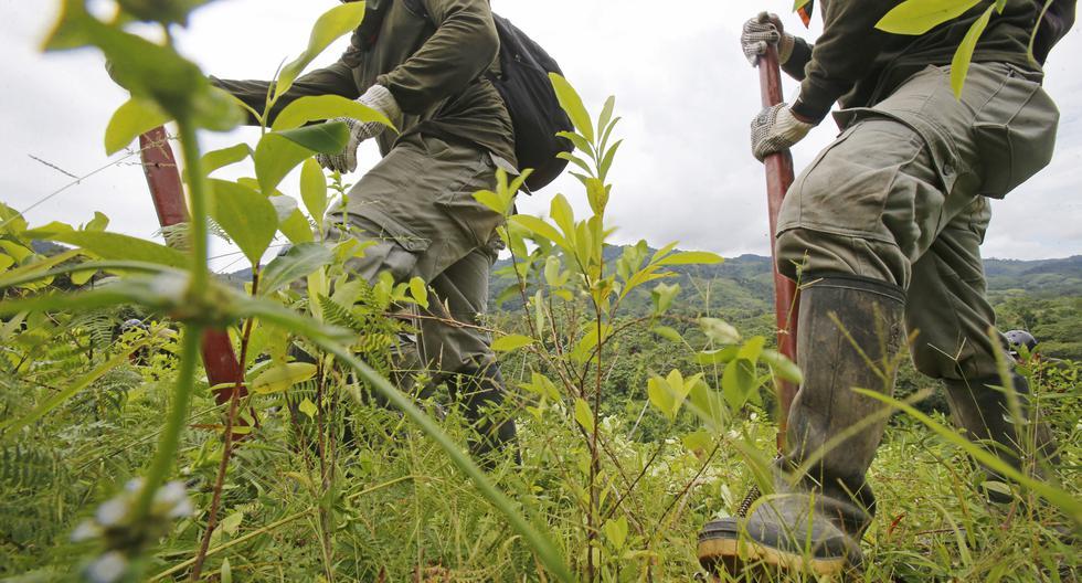 Aucayacu (Huánuco) 04 de mayo del 2017. Trabajos en la erradicación de los sembríos de hojas de coca en los caseríos por personal del CORAH resguardados por la Policía Nacional. (Foto: Dante Piaggio para El Comercio)