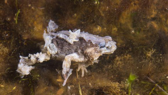 En Brasil 50 especies vieron reducidas sus poblaciones; en el resto de Sudamérica fueron 150; mientras que en México y Centroamérica alcanzó a 228 especies. Foto: Alessandro Catenazzi.