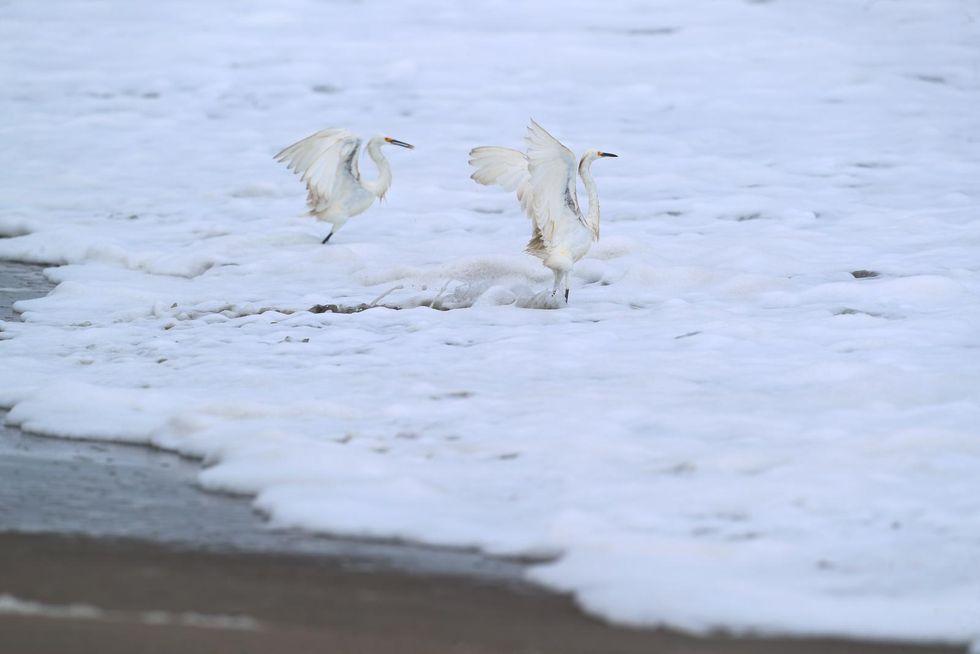 Garceta blanca (Egretta thula). (Alessandro Currarino / GEC)