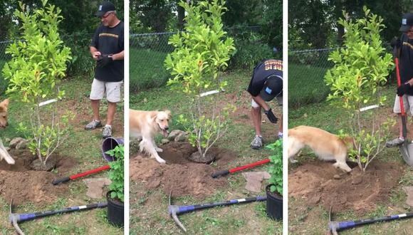 Esta mascota causa sensación entre los amantes de los animales y la jardinería. (Foto: Ellie The Pouncing Golden en YouTube)