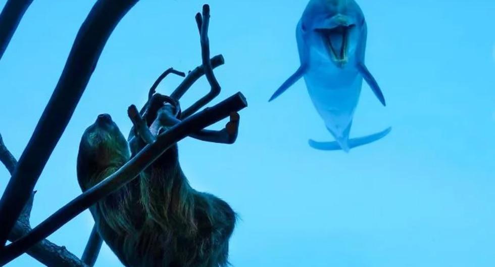 Los delfines se mostraron maravillados con la visita del perezoso y se lo hicieron saber haciendo todo tipo de muecas para llamar su atención. (Fotos: Texas State Aquarium en Facebook)