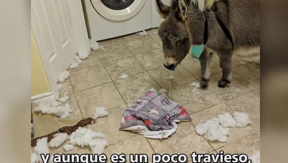 Conoce a Tim, el burro rescatado que actúa como perro. | Foto: captura