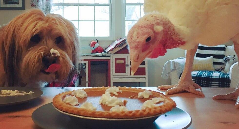 El pavo pasa sus días a lado de su compañero canino jugando, comiendo y divirtiéndose, como lo muestran las publicaciones que su dueña hace de ambos en las redes sociales. (Foto: @minnow.and.blossom en Instagram)