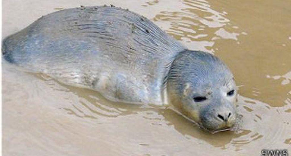 ¿Cómo terminó una foca recién nacida en un potrero de vacas? - 4