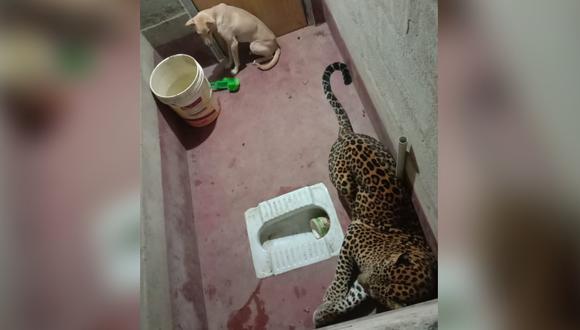 Un leopardo terminó encerrado junto a un perro. El inesperado desenlace se volvió viral. (Foto: @prajwalmanipal / Twitter)