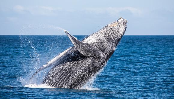 Los balnearios de Máncora, Cabo Blanco y Los Órganos (Piura), así como Punta Sal y Zorritos (Tumbes) se convierten en destinos imperdibles durante el periodo de avistamiento. (Getty Images)