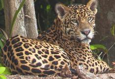 Día internacional del Jaguar: Perú tiene la segunda población más grande de Sudamérica, pero es amenazada por su comercio ilegal