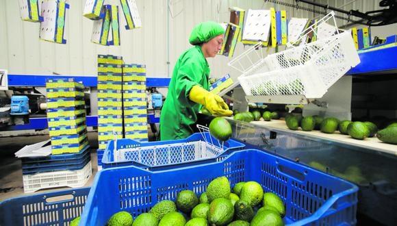 Las exportaciones de palta al cierre del 2019 sumaron US$751 millones y crecieron en un 4% respecto al año previo, según Prom-Perú. (Foto: Hugo Pérez/ Archivo)