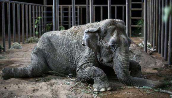 La elefanta Ramba descansa después de llegar al Santuario de Elefantes de Brasil ubicado en el municipio de Chapada dos Guimaraes el 18 de octubre del 2019. (Foto: Archivo/AFP).