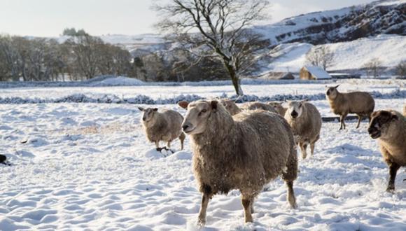 Miguel Ángel Lizama quedó atrapado con más de mil ovejas en su granja tras el fuerte temporal que azota a España. |Foto: Pexels