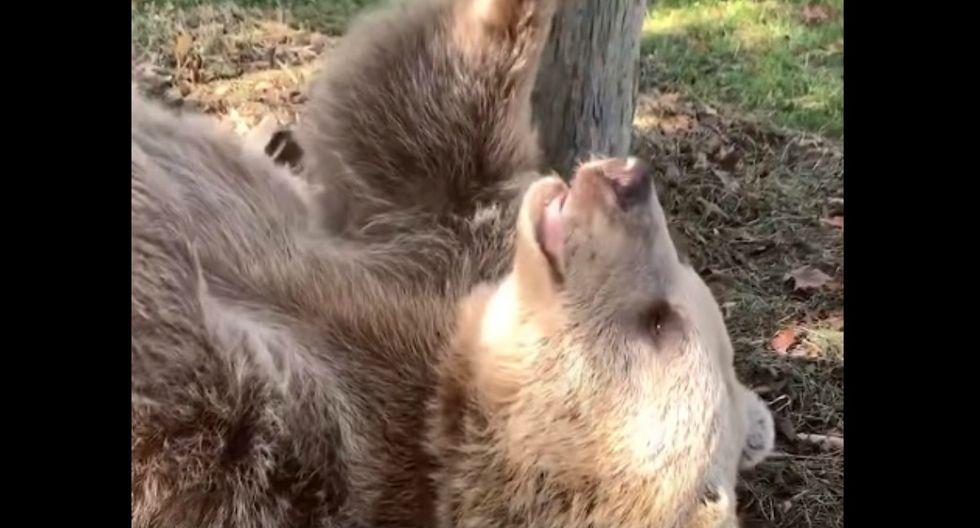 Se hizo viral en Facebook la reacción de un oso al reencontrarse con el cuidador que lo crió de pequeño. (Foto: Captura)