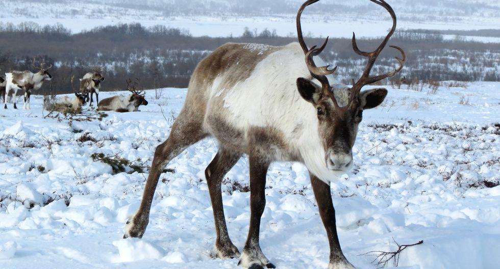 Miles de renos invadieron la carretera en Siberia (Rusia) y muchos usuarios bromearon con que se estaban preparando para la noche de Navidad. (Foto: Pixabay / referencial)