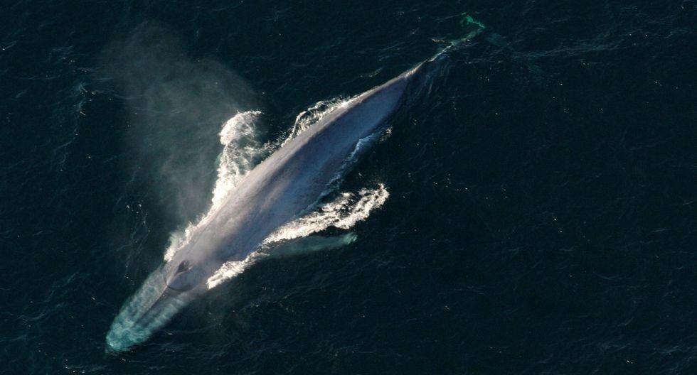 Las ballenas se alimentan casi exclusivamente de krill. (Reuters)