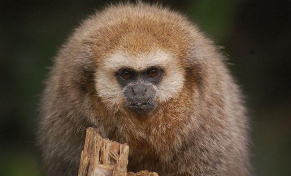 El mono tocón, especie única del Perú, podría desaparecer