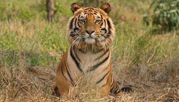 """El tigre de Malasia está en """"peligro crítico de extinción"""""""