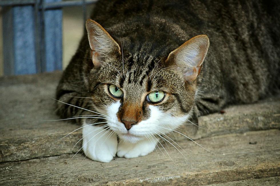 Hombre se casará con su gata para ayudar a refugio de animales. (Foto Referencial: Pixabay)