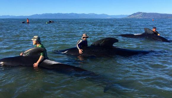 Al menos 100 ballenas son salvadas de encallar en Nueva Zelanda