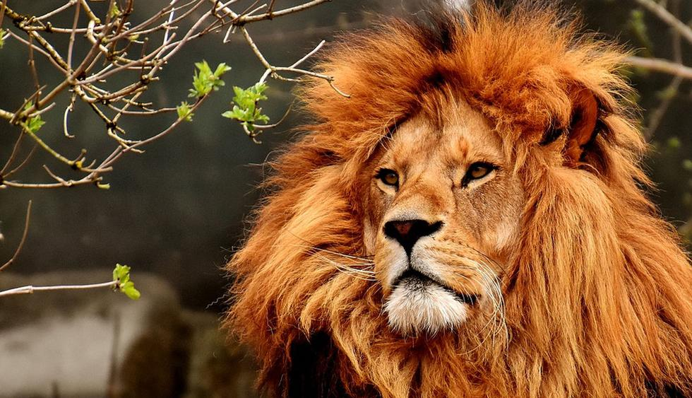 El león vio una buena oportunidad para 'fastidiar' a la leona. (Pixabay / Alexas_Fotos)