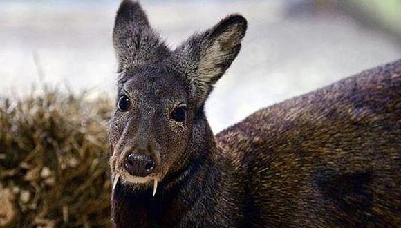 Descubren ciervo con colmillos de vampiro
