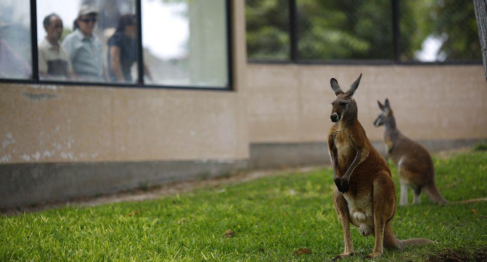 Parque de las Leyendas: canguros rojos deleitan a visitantes - 7