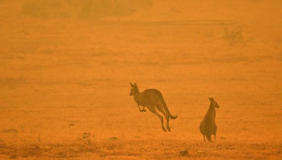 Australia, que posee una fauna única, alberga unas 300 especies nativas incluidos marsupiales como los canguros y los koalas. (Archivo/SAEED KHAN/AFP)